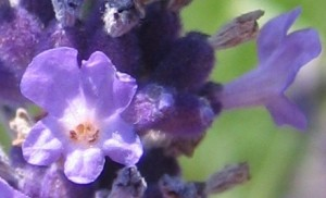 Flower_of_Lavandula_angustifolia
