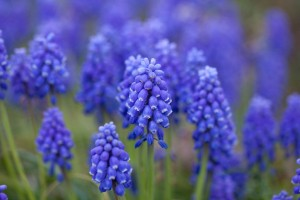 Flower,_Grape_hyacinth_