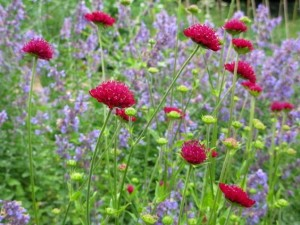 Jo Gardens Knautia and Nepeta