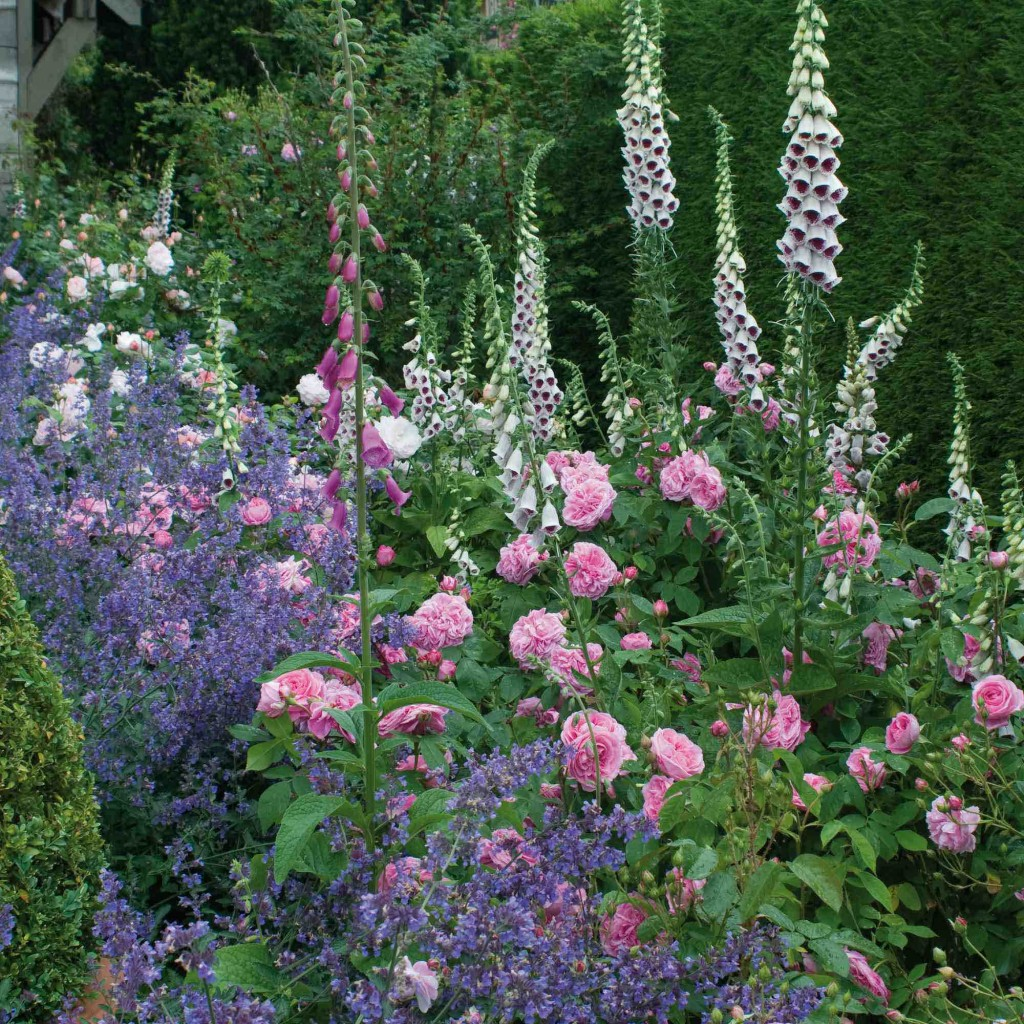 David Austin Roses Gertrude Jekyll with digitalis