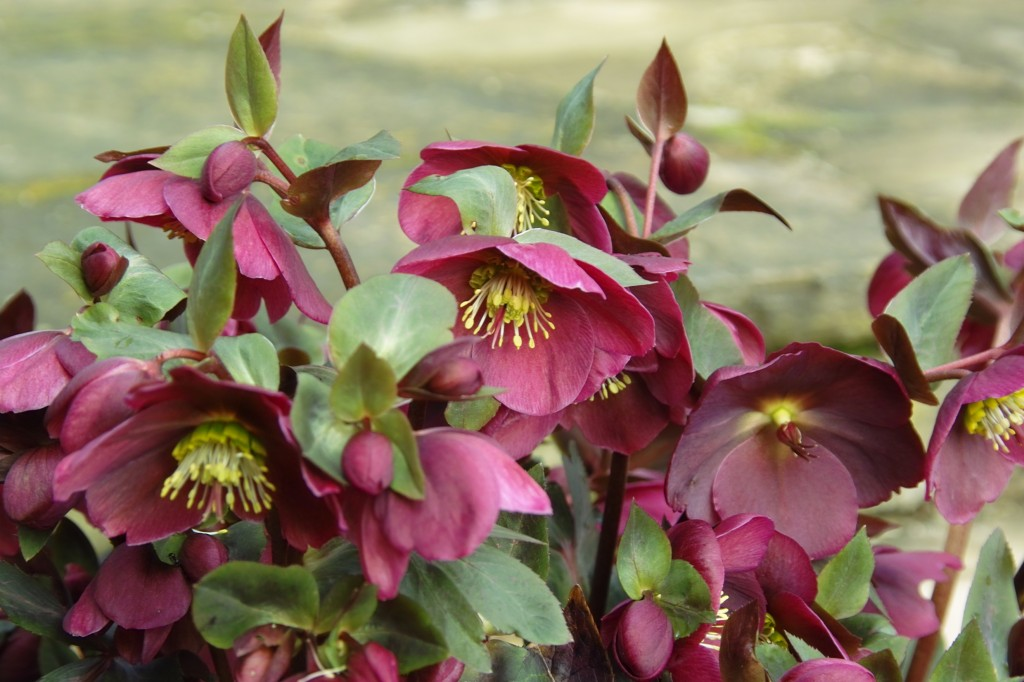 Helleborus Anna closer Sigash 2017